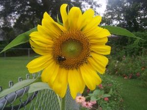 Samuels-Sunflower-9-5-2013