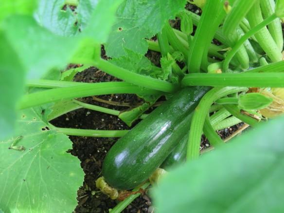 Zucchini squash plant with squash - 2 - IMG_4939_1