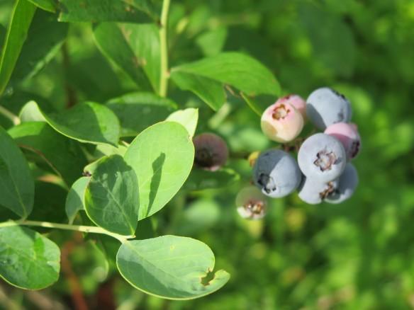 blueberries on bush - IMG_4715_1