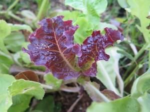 Ruby Lettuce - IMG_5225_1