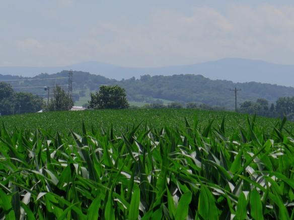 cornfield - IMG_5749_1