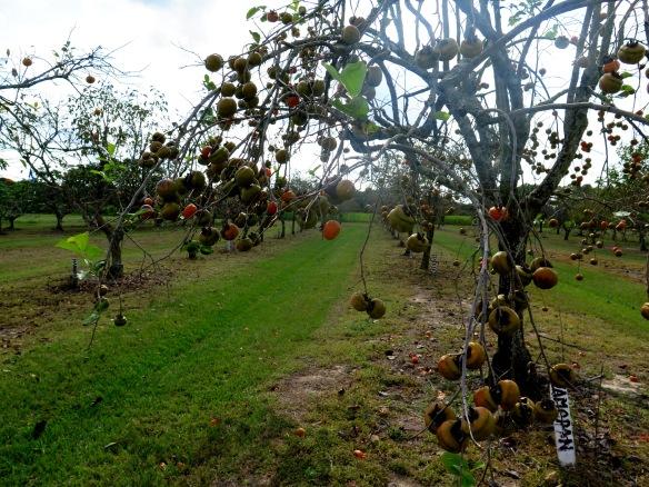 Persimmon Grove - 2 - IMG_7819