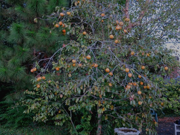 Persimmon Tree - Oct 7 - IMG_7747_1