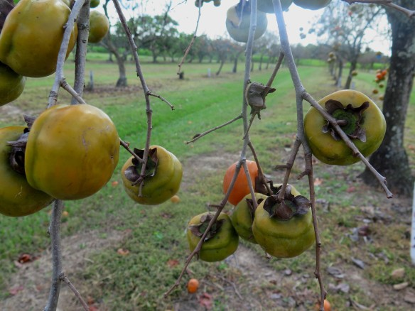 Persimmons - 1 - IMG_7820_1