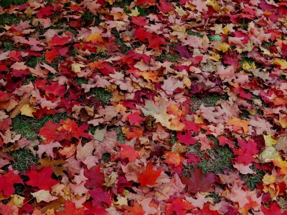 Rochester leaves - 2 -  IMG_8185_1