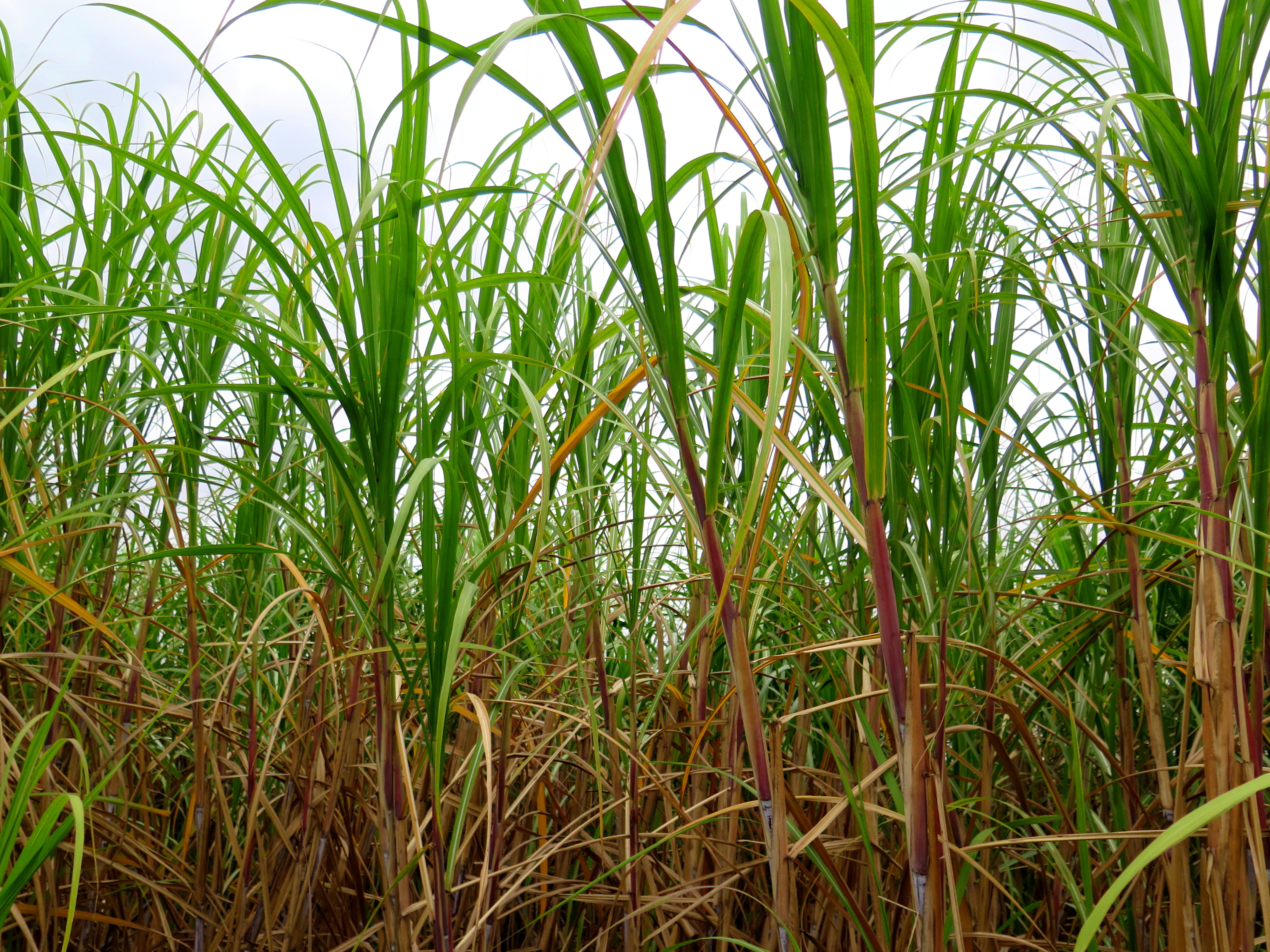 sugar cane Sugarcane (or sugar cane) is a genus of plants there are between 6 and 37 types of sugarcane (how many there are depends on the interpretation of what is a grass and.