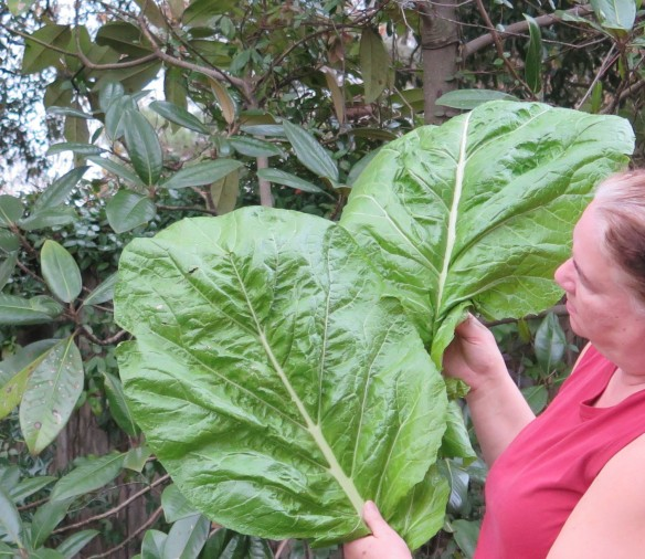 Giant Mustard Greens - 2 - IMG_1335_1