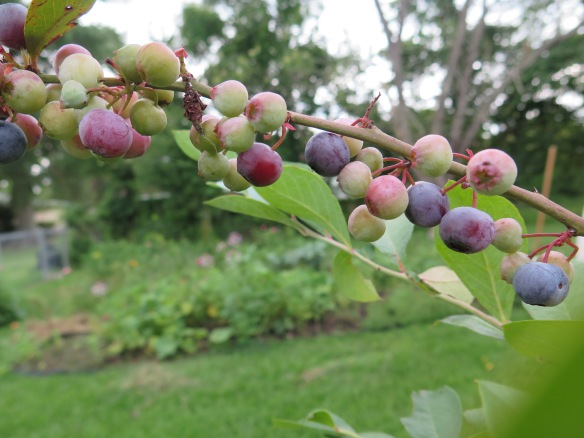 Blueberries - 2 - IMG_3321