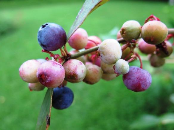 Blueberries in Backyard - IMG_3333