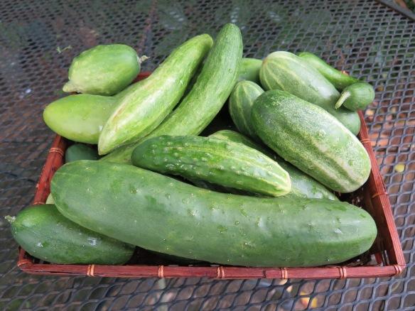 Cucumbers - IMG_3597