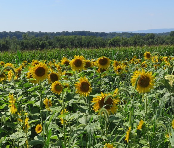 sunflowers in Pennsylvania 2014 -2 - IMG_6596_1