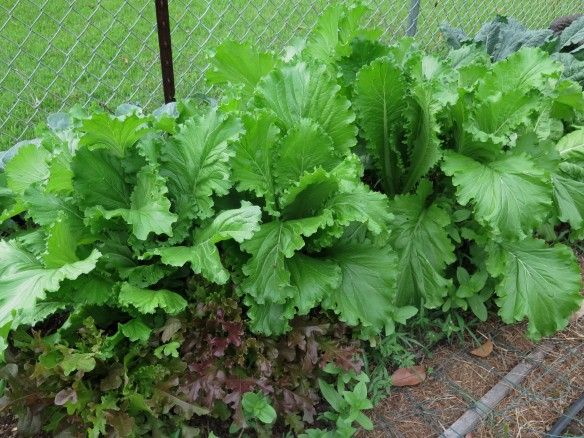 Mustard Greens growing in garden - 2015 - IMG_5387_1