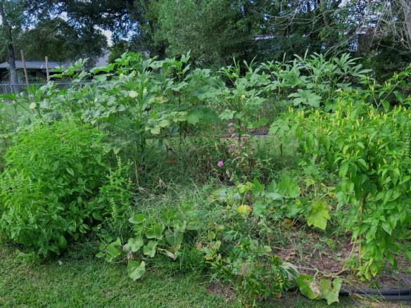 Okra in Garden IMG_4751_1