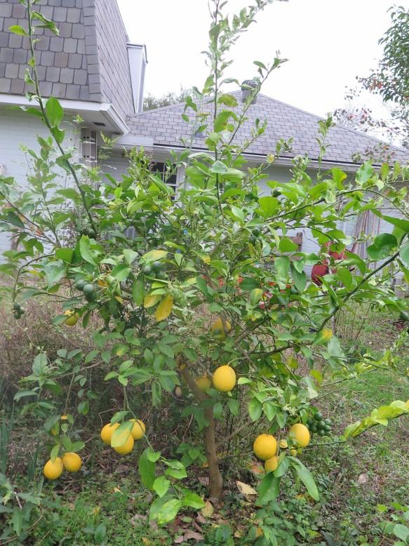 Meyer Lemon Tree - IMG_6586_1