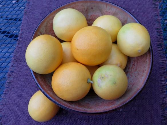 Meyer Lemons - IMG_1056_1