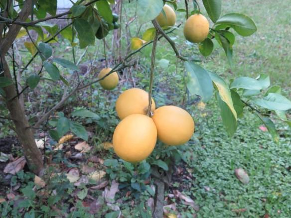 Meyer Lemons 12-29-2015 - IMG_6588_1