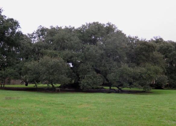 Tree of Life Live Oak Tree - IMG_6668_1 - cropped
