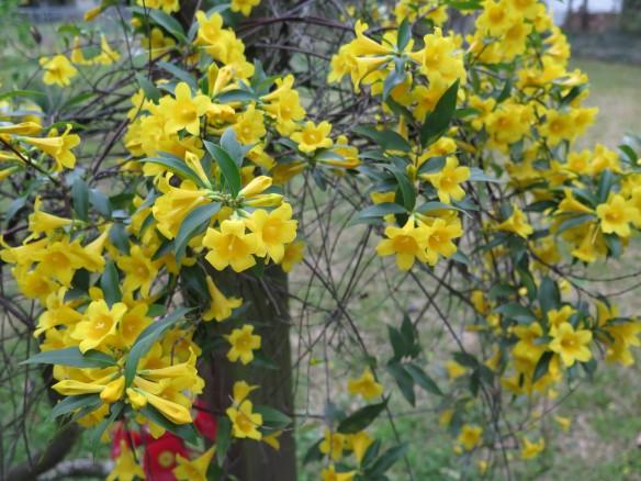 Flowering Jasmine - IMG_7484_1