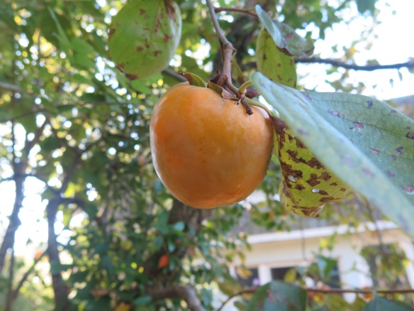almost-ripe-persimmon-on-tree-img_1367