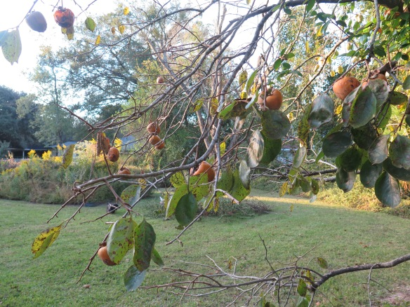 branch-of-perimmons-on-backyard-tree-img_1398