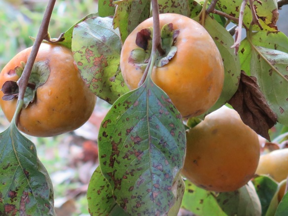 three-persimmons-on-backyard-tree-img_1397